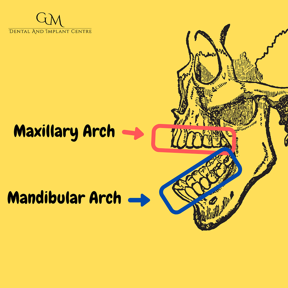 Maxillary and Mandibular Arch