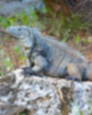 a blue iguana.jpg