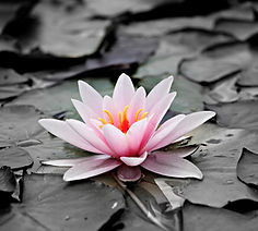 water-lily-1510707_1920.jpg