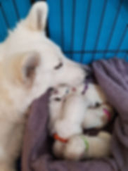 Lola whelping pause with pups.jpg