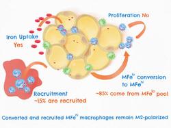 Macrophage AiR 2