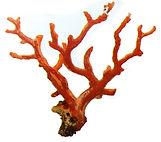 branche de corail rouge