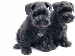 Black Pups