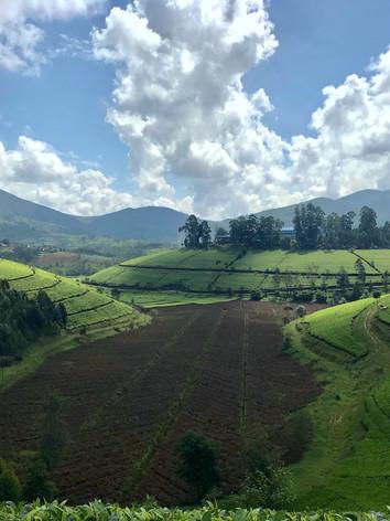 Tea Field in Rwanda