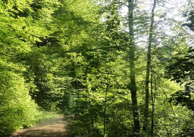 Wanderweg im grünen