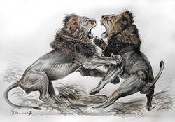 Lion Fight Drawing 1