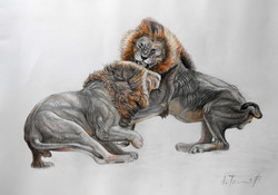 Lion Fight Drawing 2