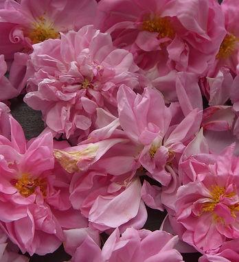 centifolia.jpg