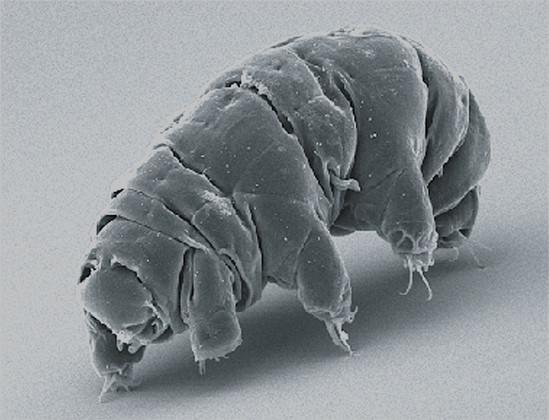 A Tardigrade, or Water Bear