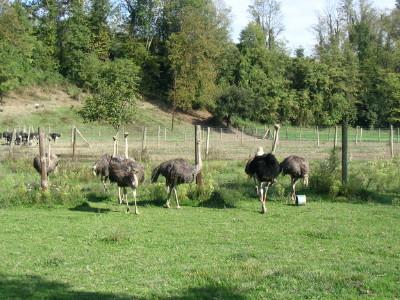 Ostrich farm near Annecy