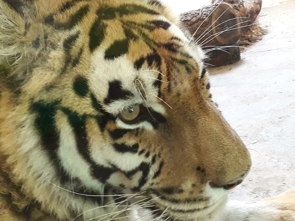 servion zoo tiger