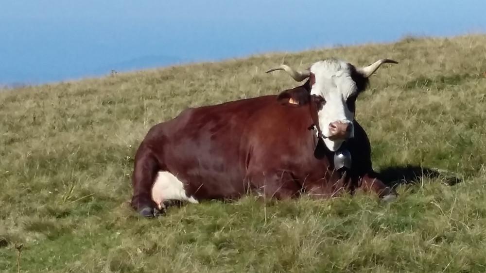 cow in Semnoz