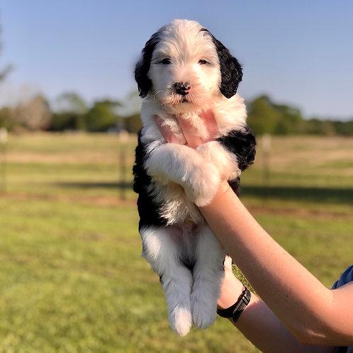 Landry & Ryder Family Pup