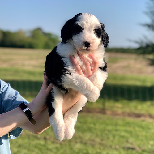 Dorr Family Pup