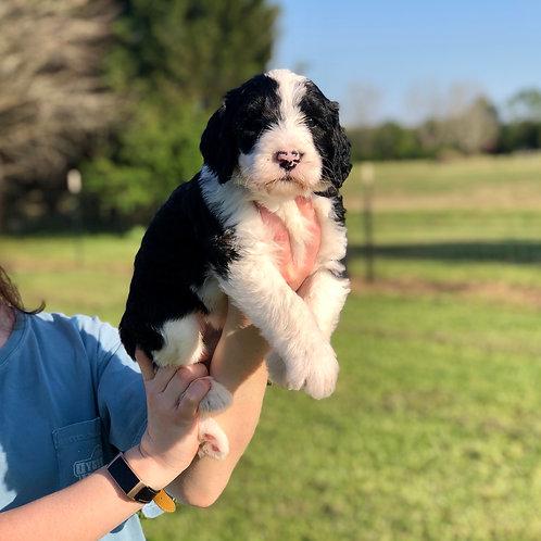 Shait Family Pup