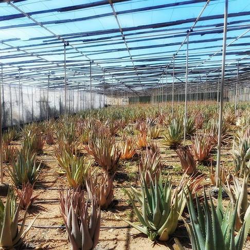 Aloe Farm