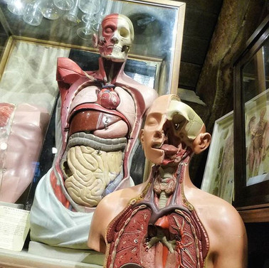 Anatomical Torso