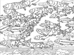 Salmon Swimming Upstream no border