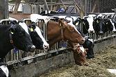 cafo-cows.jpg