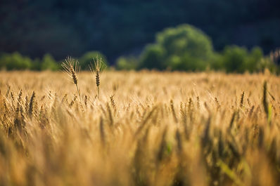 selective-shot-of-golden-wheat-in-a-whea