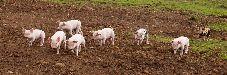 MC-03292016-animals-Pig-3.jpg