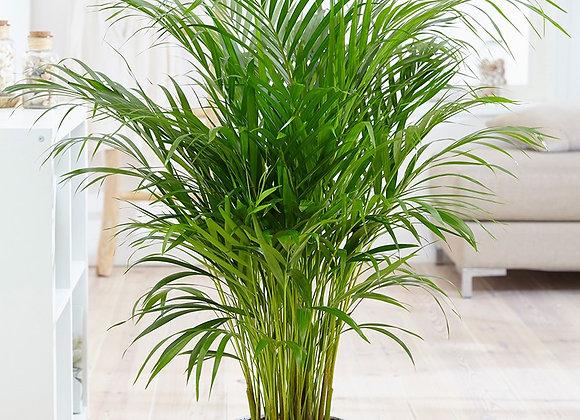 Пальма Арека 130 см