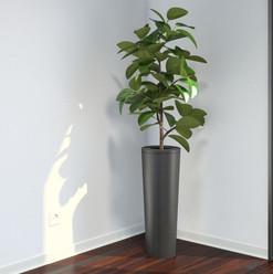 VP Ficus Elastica  7.jpg