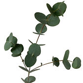 green_eucalyptus_baby_blue_800x.jpg