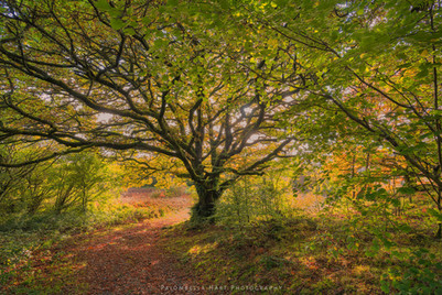 Old Hornbeam in Autumn Colours