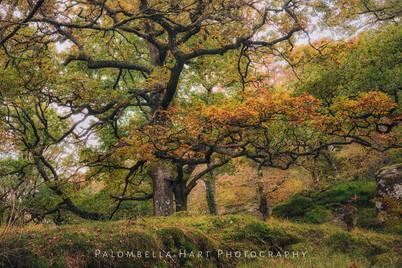 Ancient Oaks of Coed Bryn Engan