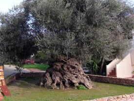 Dünyanın En Yaşlı Zeytin Ağacı