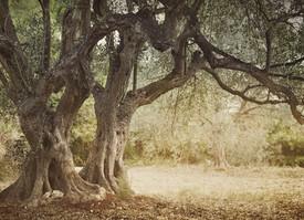 Zeytin Ağacıyım Ben…