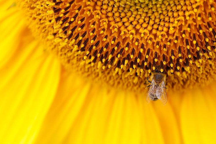 sunflower-2971594.jpg