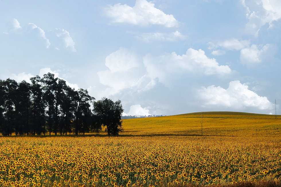 sunflowers-1173418.jpg