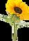 PinClipart.com_sunflower-clip-art-black_617046.png