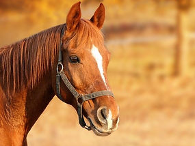 bay-horse-with-blaze-near-fence.jpg