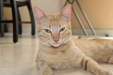 Merlin-buff-color-cat.jpg