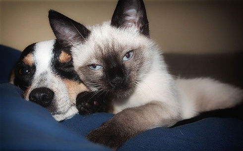 siamese-and-dog-on-blue-blanket.jpg