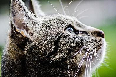 tabby-cat-looking-up.jpg