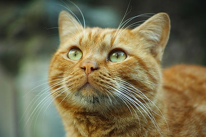 Eddie-orange-tiger-cat.jpg
