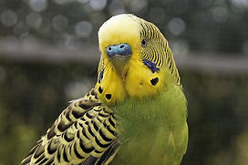 yeloow-and-green-budgie-bird.jpg