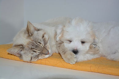 light-color-cat-and-puppy-resting-togeth