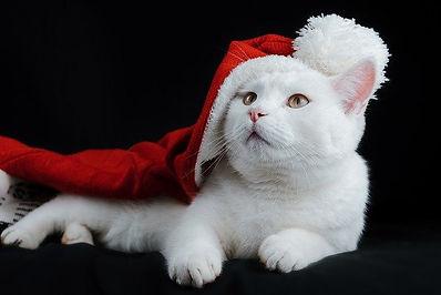 white-cat-with-Santa-hat.jpg