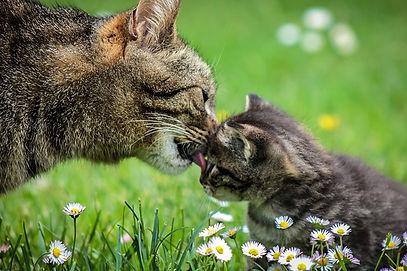 mother-cat-washing-kitten-face.jpg