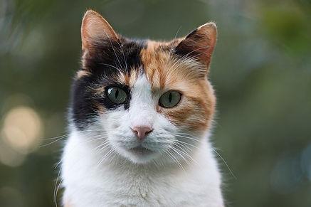 Quinnie-Rose-calico-cat.jpg