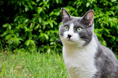 Andy-gray-tuxedo-cat.jpg