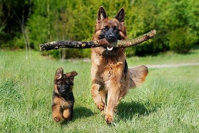 erman shepherd pup and adult dog