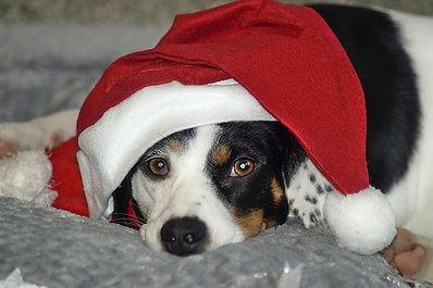 beagle-wuth-Santa-hat.jpg