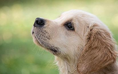 golden-labrador-looking-up.jpg