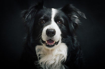 Border-Collie-dog.jpg